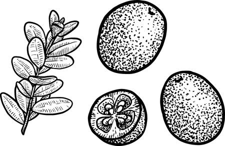 Cowberry or cranberry illustration, engraving, ink, line art, vector