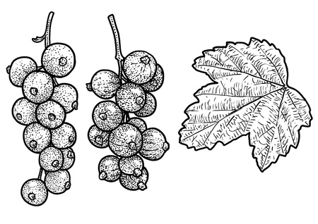 Red currant drawing, engraving, ink, line art, vector