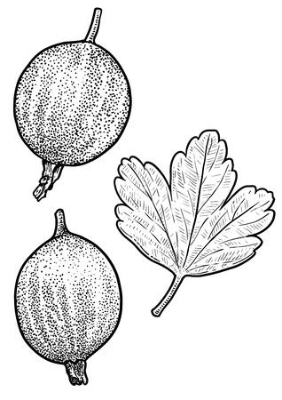 Gooseberry illustration drawing engraving ink line art vector