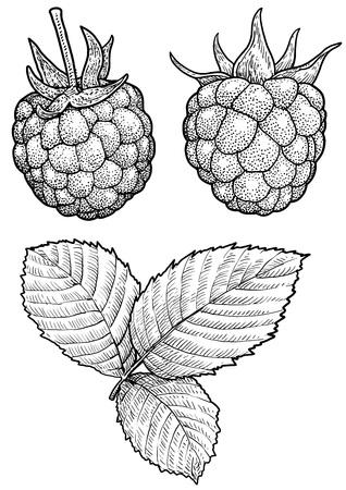 Raspberry illustration, engraving, ink, line art, vector Ilustração
