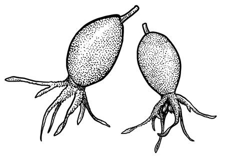 Rosehip illustration drawing engraving ink line art vector Ilustração