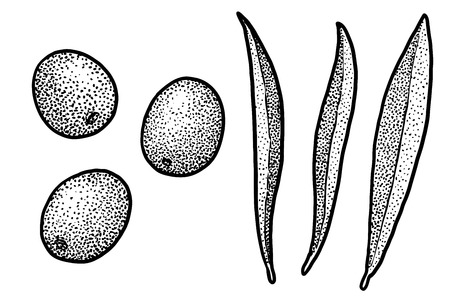 Sea buckthorn illustration, engraving, ink, line art, vector Ilustração