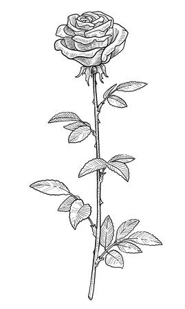 Rose illustration, engraving, ink, line art, vector