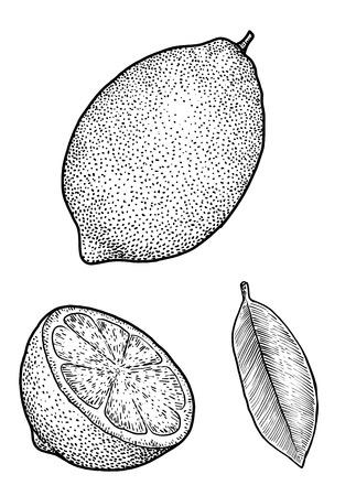 Lemon illustration drawing engraving ink line art vector