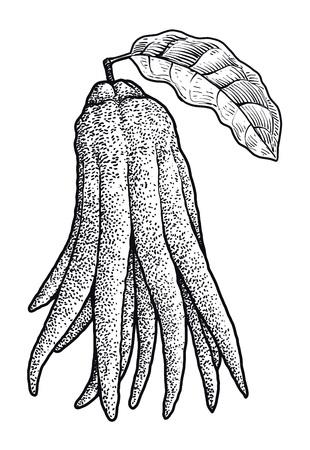 Fingered citron illustration drawing engraving ink line art vector