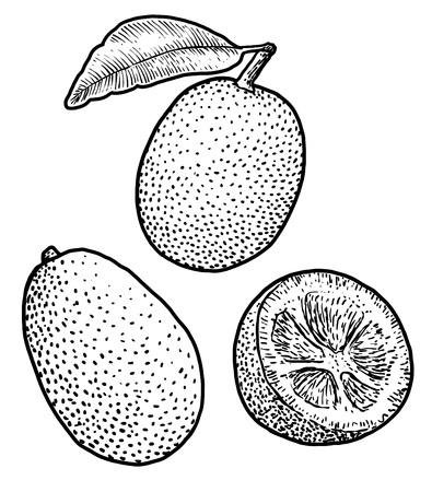 Kumquat illustration drawing engraving ink line art vector