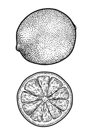 Lime illustration drawing engraving ink line art vector