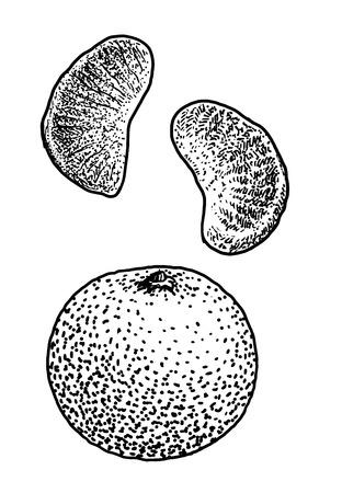 Mandarin drawing, engraving, ink, line art, vector Ilustração