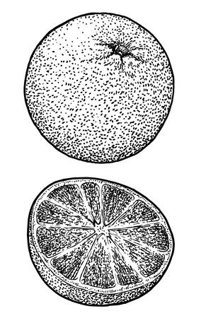 Orange illustration drawing engraving ink line art vector