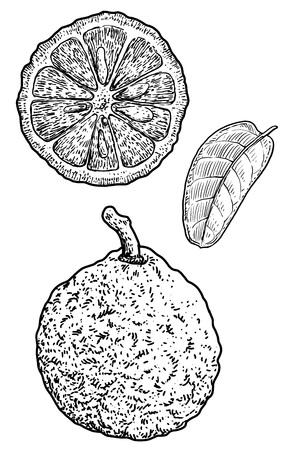 Bergamot illustration drawing engraving ink line art vector Ilustração