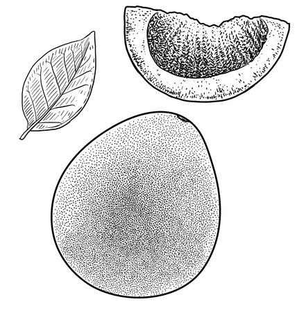 Pomelo illustration drawing engraving ink line art vector