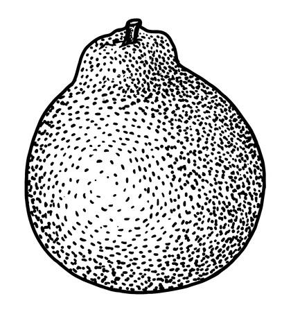 Tangelo illustration drawing engraving ink line art vector