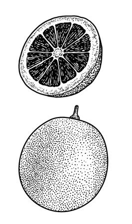 Blood orange illustration drawing engraving ink line art vector