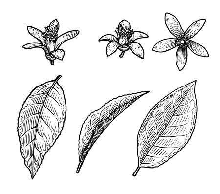 Ilustración de hoja y flor de cítricos, grabado, tinta, arte lineal, vector