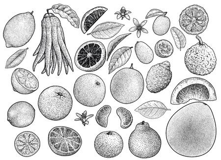 Citrus collectie illustratie gravure inkt lijn kunst vector