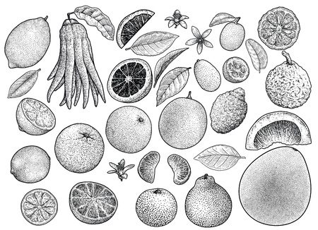 Citrus collection illustration engraving ink line art vector