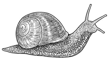 Garden snail illustration engraving ink line art vector