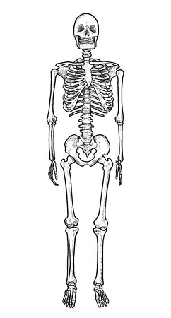Human skeleton illustration, engraving, ink, line art, vector