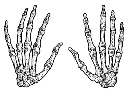 Human hand skeleton illustration, engraving, ink, line art, vector