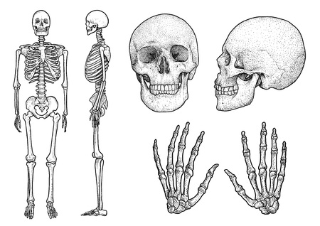 Human skeleton collection illustration, engraving, ink, line art, vector