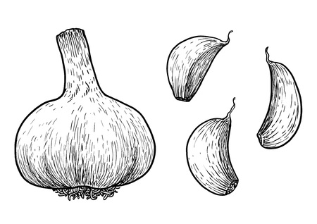 Garlic illustration drawing engraving ink line art vector Ilustração