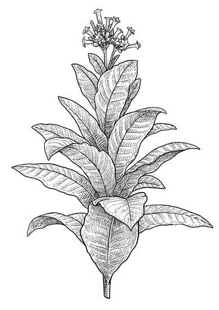Tabakpflanze Illustration Zeichnung Gravur Tinte Strichzeichnung Vektor