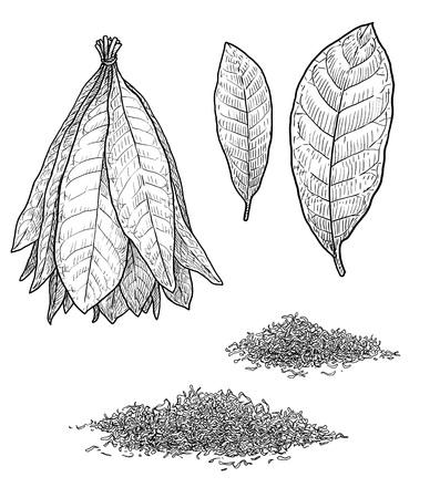 Ilustración de hoja de planta de tabaco dibujo grabado tinta arte lineal vector Ilustración de vector