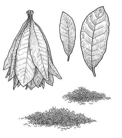 Tobacco plant leaf illustration drawing engraving ink line art vector Vectores