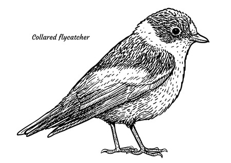 Collared flycatcher, Ficedula albicollis illustration, engraving, ink, line art, vector