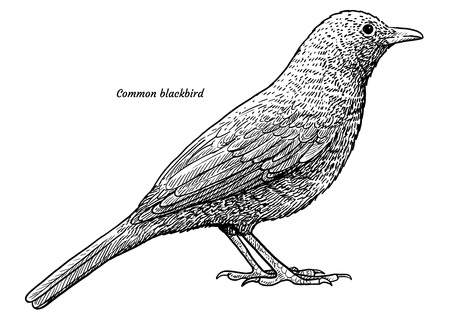 Common blackbird, turdus merula illustration, engraving, ink, line art, vector