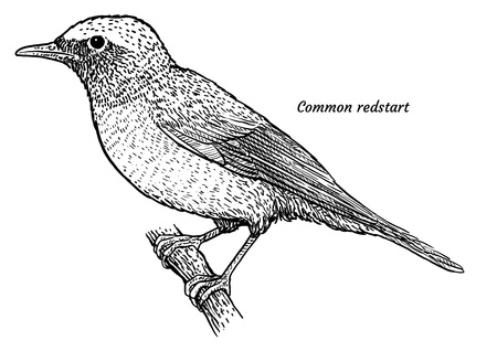 Common redstart, Phoenicurus phoenicurus illustration, engraving, ink, line art, vector Ilustração