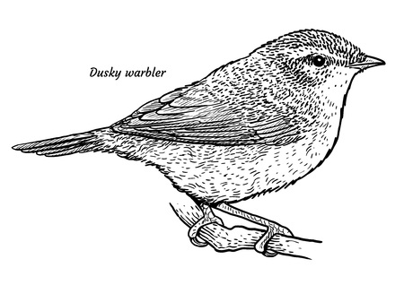 Dusky warbler, Phylloscopus fuscatus illustration, engraving, ink, line art, vector  t