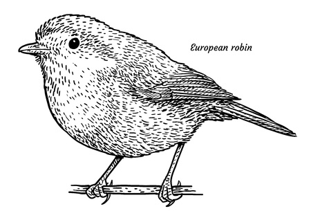 European robin, erithacus rubecula illustration, engraving, ink, line art, vector