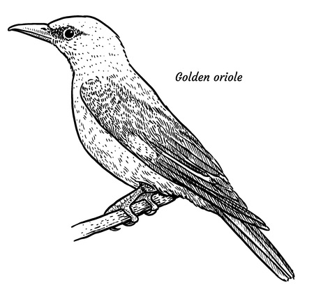 Golden oriole, Oriolus oriolus illustration, engraving, ink, line art, vector