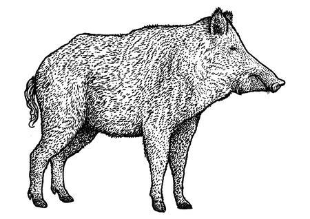 Boar illustration drawing engraving ink line art vector Ilustração