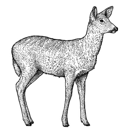Roe deer illustration drawing engraving ink line art vector