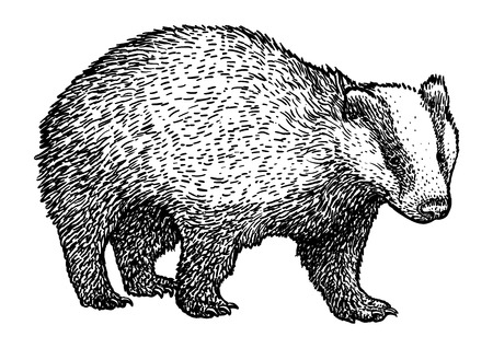 Badger illustration drawing engraving ink line art vector