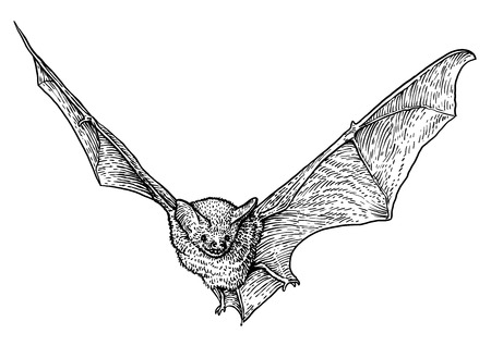 Bat illustration drawing engraving ink line art vector