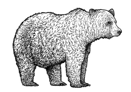 Bear illustration drawing engraving ink line art vector Ilustração