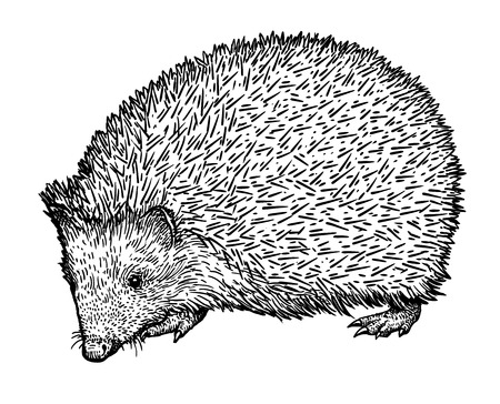 Hedgehog illustration drawing engraving ink line art vector Ilustração
