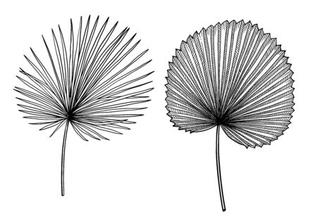 Palm leaf illustration, drawing, engraving, ink, line art, vector