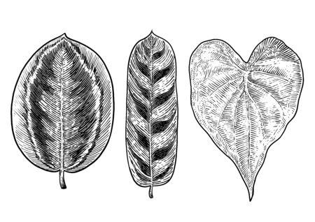 Tropical leaf illustration, drawing, engraving, ink, line art, vector Imagens - 137230195