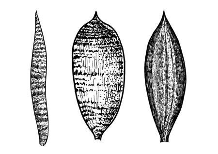 Sansevieria leaf illustration, drawing, engraving, ink, line art, vector Ilustração