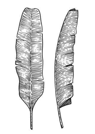 Banana leaf illustration, drawing, engraving, ink, line art, vector Imagens - 137230198