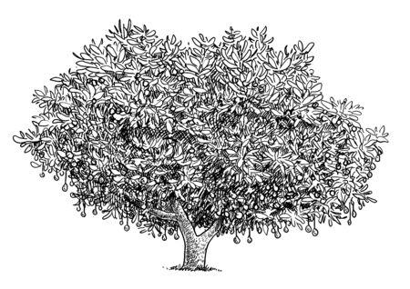 Avocado tree illustration, drawing, engraving, ink, line art, vector Imagens - 137230205