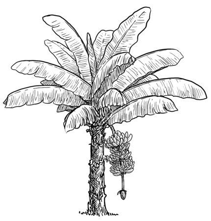 Banana tree illustration, drawing, engraving, ink, line art, vector Imagens - 137230409