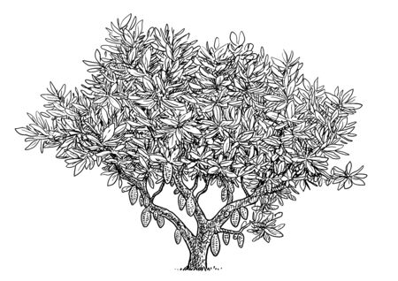 Cocoa tree illustration, drawing, engraving, ink, line art, vector Imagens - 137230410