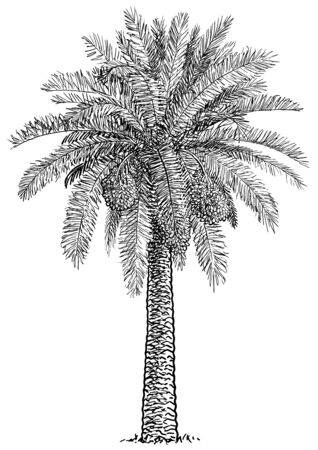 Date palm tree illustration, drawing, engraving, ink, line art, vector Imagens - 137230412