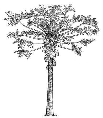 Papaya tree illustration, drawing, engraving, ink, line art, vector Imagens - 137230415