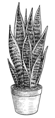 Sansevieria illustration, engraving, ink, line art, vector